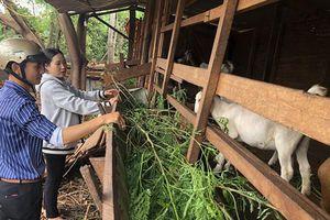 Nông hội nuôi dê, bò ở Ia Dreng: Chia sẻ kinh nghiệm chăn nuôi