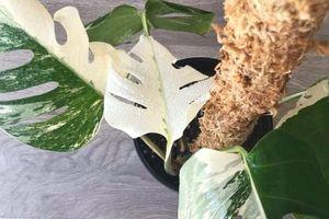 Cây Monstera quý bị đánh cắp khỏi vườn bách thảo New Zealand