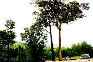 Hai cây di sản ở Khánh Sơn