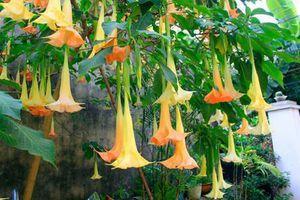 Ăn hoa chuông, 3 người Lạng Sơn hôn mê