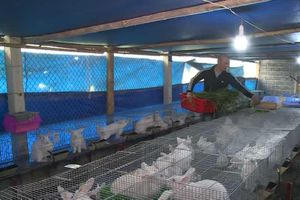 Hòa Bình: Thu lãi 'khủng' nhờ nuôi thỏ sạch