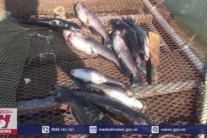 Gần 30 tấn cá đặc sản sông Đà bị chết do xả lũ