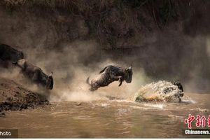 Cá sấu ngấm ngầm phục kích, lao vào đánh úp khi đàn linh dương xuống nước