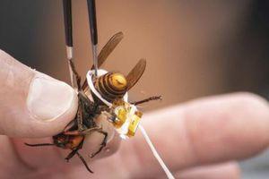 Ong bắp cày 'sát thủ' lại tẩu thoát ở bang Washington