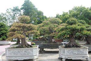 Ngắm dàn bonsai khế của đại gia chơi cây cảnh 'ngông' ở Việt Nam