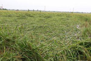 Nam Định: Hàng nghìn hecta lúa mùa, cây vụ đông bị ảnh hưởng do mưa bão