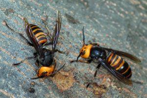 Ong bắp cày tinh ranh, trốn thoát thành công dù bị gắn thiết bị theo dõi
