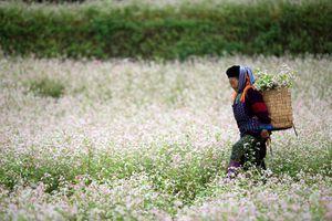 Hãy đến thiên đường hoa tam giác mạch Hà Giang