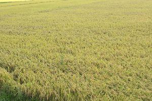 Giá lúa gạo hôm nay ngày 17/10: Giá gạo tăng nhẹ
