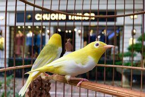 'Điểm' chủng chim quý 'chat' cỡ nào… nhà giàu Việt muốn có