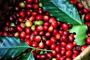 Giá cà phê hôm nay 19/10: Xu hướng giá tăng, Covid-19 và mưa lũ hỗ trợ giá cà phê Robusta đi lên