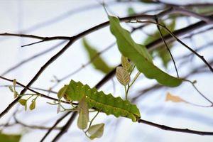 Bướm đêm: Loài sâu 'hủy diệt' lá xanh
