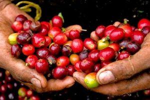 Giá cà phê hôm nay 19/10: Giữ nguyên giá so với cuối tuần trước