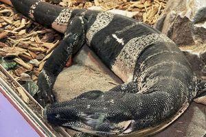 Tìm thấy cặp thằn lằn giá 75.000 USD sau 10 tháng bị đánh cắp