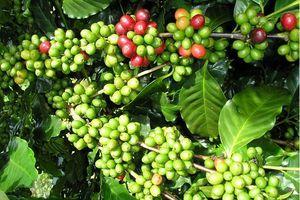 Giá cà phê hôm nay 20/10: Tiếp tục tăng 100 - 200 đồng/kg, dự báo giá có thể lên 32,5 triệu đồng/tấn
