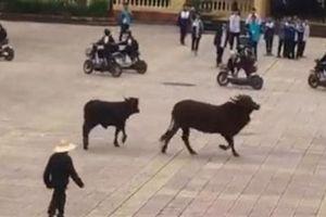 Hai chú bò giao chiến trong sân trường: Sự cố