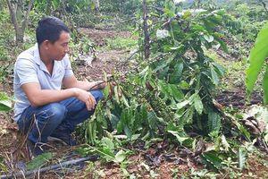 Truy tìm đối tượng đốn hạ hàng trăm cây trồng của nông dân Đắk Lắk