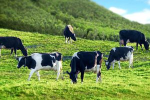 Công ty Giống bò sữa Mộc Châu bị phạt 545 triệu đồng trước khi lên sàn