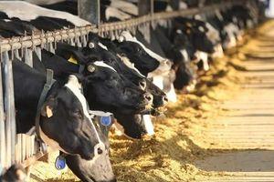 'Dính' hàng loạt vi phạm, CTCP Giống bò sữa Mộc Châu bị phạt hơn nửa tỷ đồng