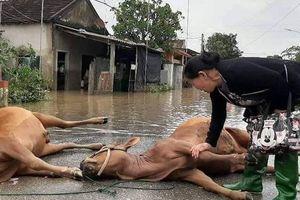 Cám cảnh người phụ nữ rơi nước mắt bên 2 con bò chết sau cơn lũ đi qua, hình ảnh khiến triệu người xót xa