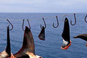 Vây cá mập có thực là thần dược?