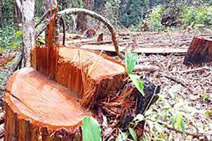 Kon Tum: 3 người bị chấm dứt hợp đồng lao động vì để mất rừng