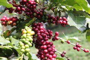 Giá cà phê hôm nay 23/10: Tăng 500 đồng/kg, vượt mốc 32 triệu đồng/tấn