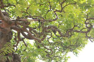 Zoom khế cổ thụ giá trên trời trong vườn nhà giàu Việt