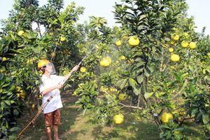 Đào tạo chuyên sâu về trồng bưởi cho hơn 3.000 nông dân