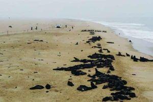 Hơn 7.000 con hải cẩu chết dọc bãi biển Namibia