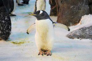 Cụ chim cánh cụt bất ngờ lập kỷ lục Guinness