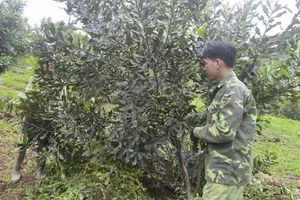 Huyện Tuần Giáo: Chủ trương phát triển cây công nghiệp