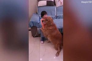 Chú chó bênh vực bé gái khiến trái tim bao người tan chảy