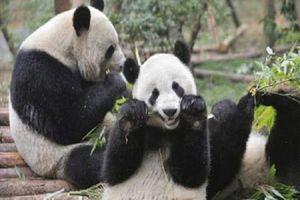 Đáng yêu 'rụng tim' nghề đóng giả gấu trúc chơi với gấu con