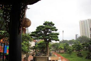 Tận mắt ngắm cây cảnh, khiến 'tay chơi' bán nhà trên phố để mua cây