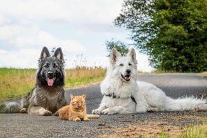 Được cứu sống sau khi bị tai nạn, chú mèo hòa nhập đàn chó lớn và quên luôn mình là mèo