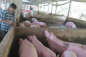Giá lợn hơi tăng nhẹ