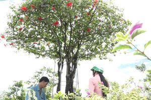 Độc đáo cây dâm bụt cổ thụ có giá gần 100 triệu đồng