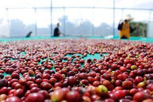 Giá cà phê hôm nay 27/10: Đồng loạt tăng, giá cà phê tiếp đà đi lên trước vụ thu hoạch mới