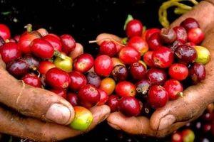 Giá cà phê hôm nay 27/10: Đồng loạt tăng nhẹ 200 đồng