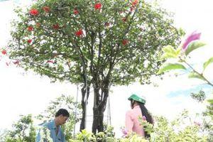Giật mình giá cây dâm bụt cổ thụ ở miền Tây gần 100 triệu đồng
