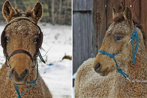 Cận cảnh ngựa lông xoăn Bashkir kỳ lạ nhất thế giới