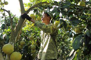 Thu tiền tỷ mỗi năm từ cây có múi nhờ chuyển đổi sang canh tác hữu cơ