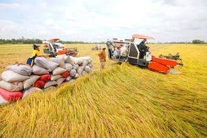 Giá lúa gạo hôm nay ngày 30/10: Chất lượng gạo giảm, giao dịch ít