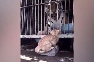 Hổ hết hồn vì bị mèo dọa đánh
