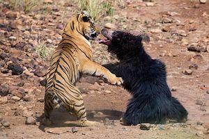 Bảo vệ con nhỏ, gấu mẹ liều cả tính mạng đối đầu với con hổ dữ