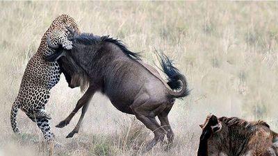Những tình huống sư tử 'no đòn' vì bị con mồi tấn công