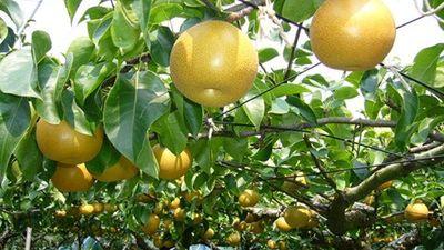 Đột nhập vườn lê Nhật Bản sai trĩu quả