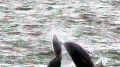 Đàn cá voi sát thủ hợp sức giết cá heo ở ngoài khơi California