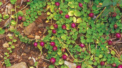 Top rau dại độc lạ, là đặc sản Việt Nam được săn lùng